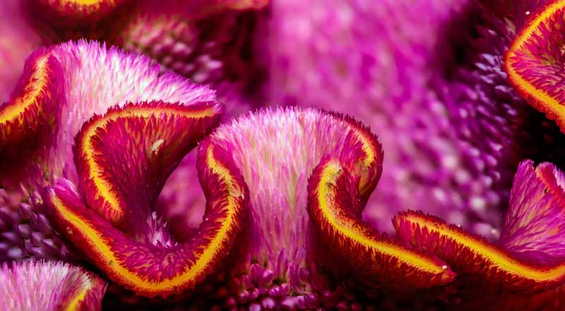 A very close up shot of Purple Cockscomb Celosia showing the brain like structure of the flowers.