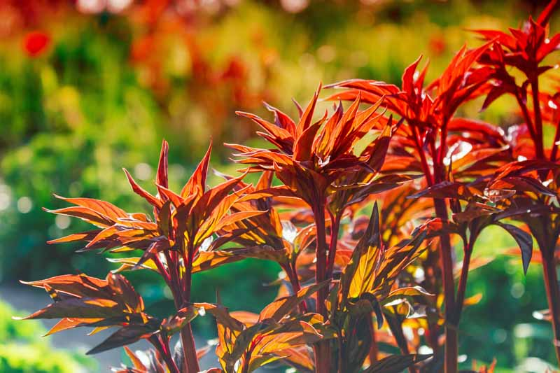 A close up horizontal image of maroon spring peony shoots in morning sunlight.