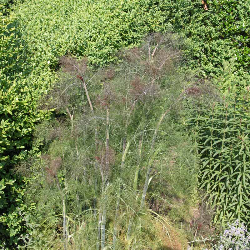 A vertical image of a mature fern-like fennel plant growing in a herb garden, with trees and perennial shrubs in the background..