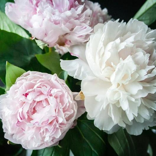 PEONY ROOTS - SHIRLEY TEMPLE