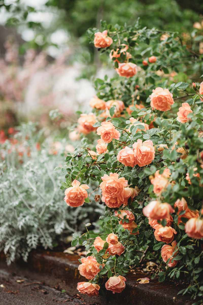 Peach roses in bloom in a well manicured garden.