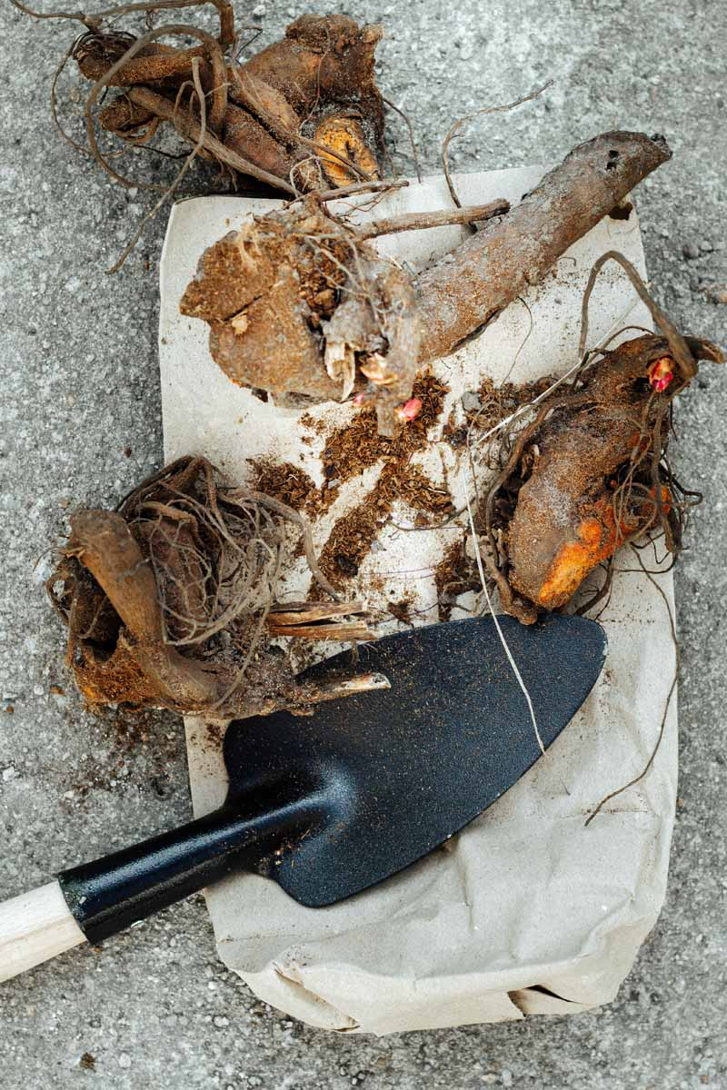 A vertical image of a garden spade and four pieces of root stock.