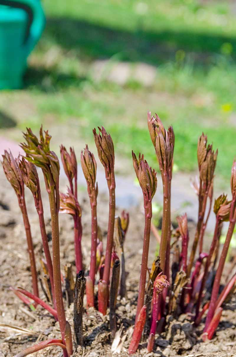 Reddish green peony sprouts emerging from the ground.