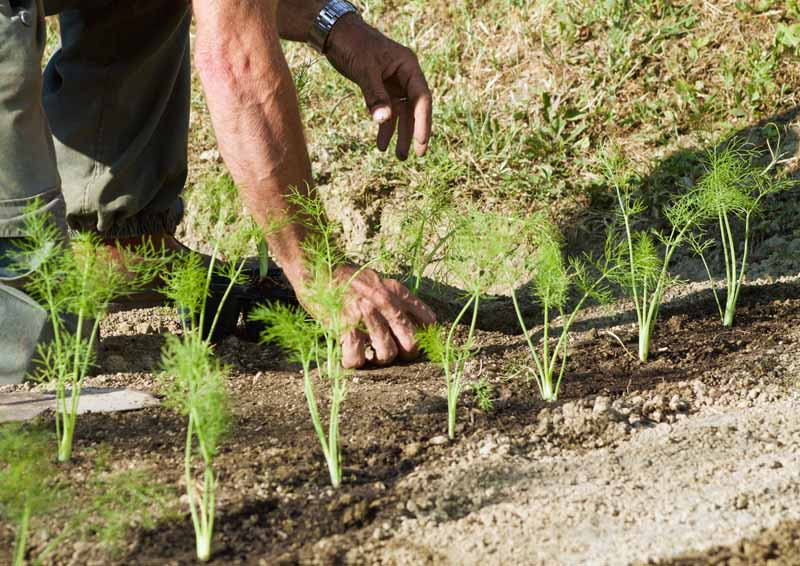 A close up horizontal image of human arms planting a row of seedlings in a herb garden in light sunshine.