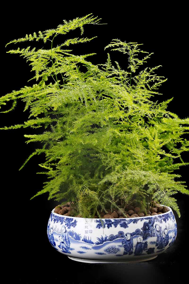 Learn How To Grow Asparagus Fern Gardener S Path