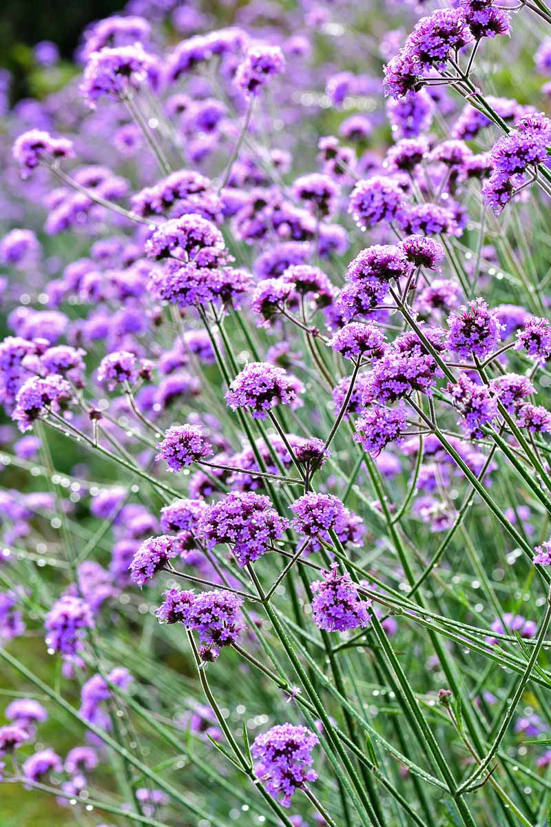A field of purple verbena.
