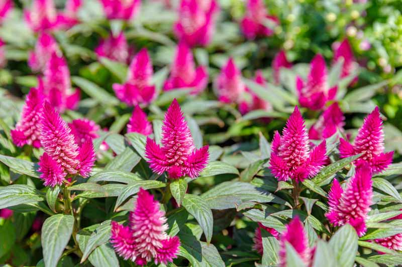 Purple Wheat-Style Celosia Blooms.