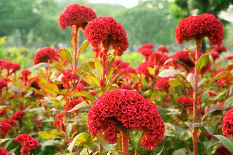 Brain looking Red Cockscomb Celosia Flowers in a landscaped flower garden.