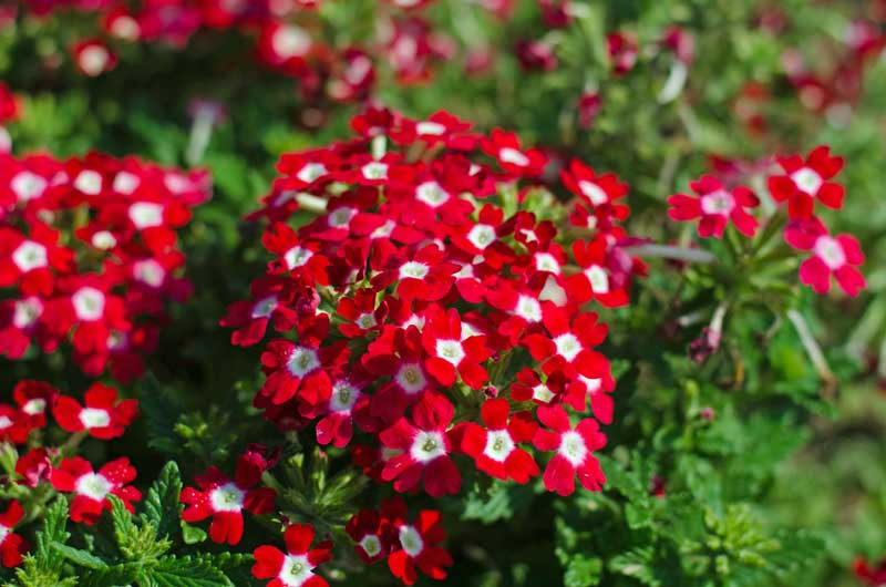 A close up of a clump of red verbena flowers.