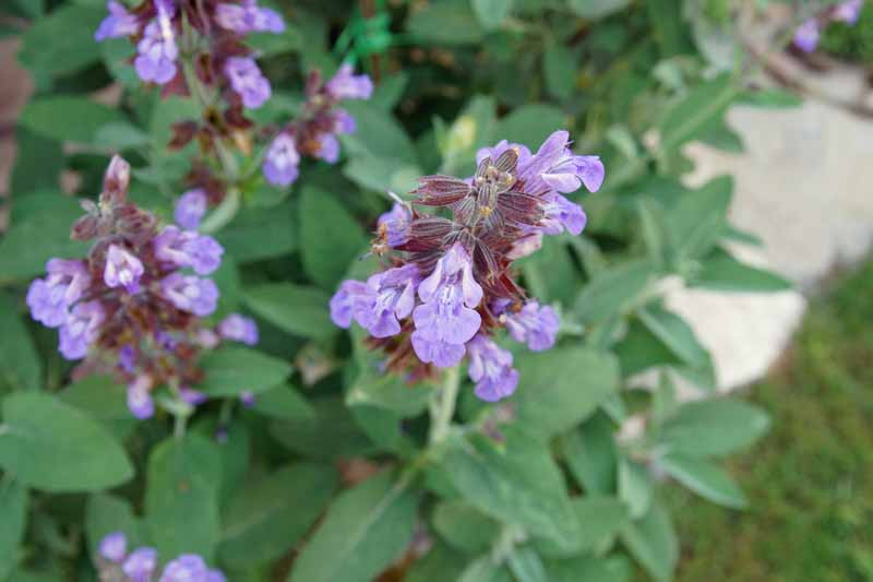 Close up of the purple blooms of Salvia officinalis growing in the garden.