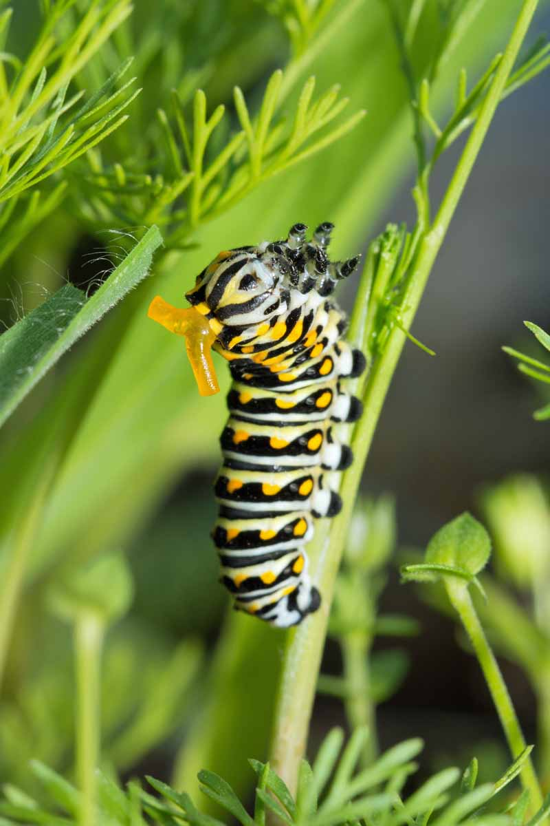 A closeup photo of a swallowtail caterpillar crawling on a fennel plant
