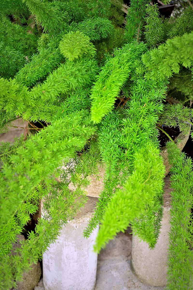 Vertical closely cropped image of a vibrant green asparagus fern plant, with gray cement blocks beneath it.