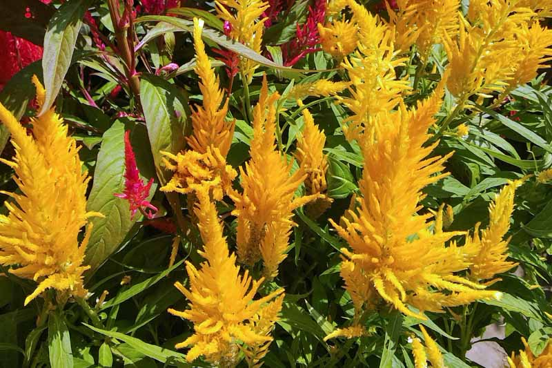 Close up of Yellow Plume-Type Celosia Flowers.