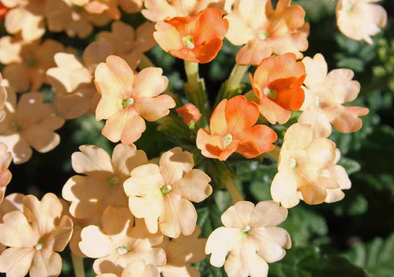 Close up of apricot colored verbena blossoms.