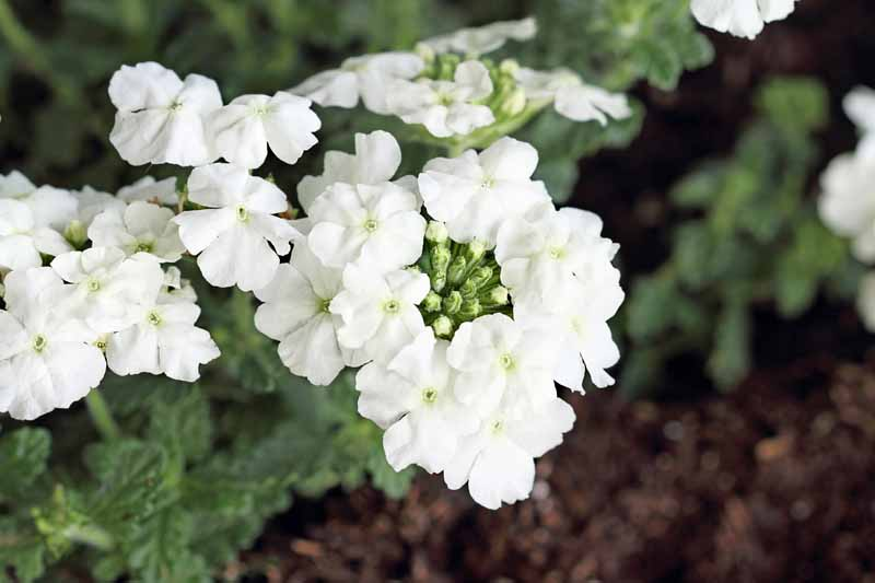 Clumps of white verbena flowers. Close up.