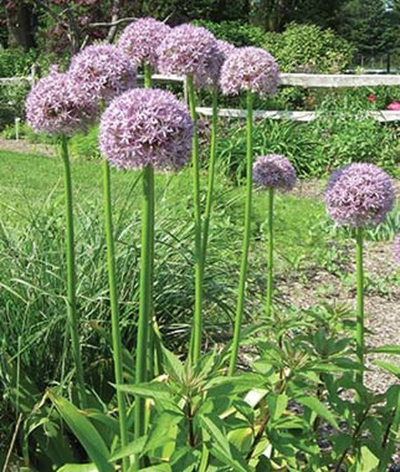 Allium 'Giganteum growing in a garden.