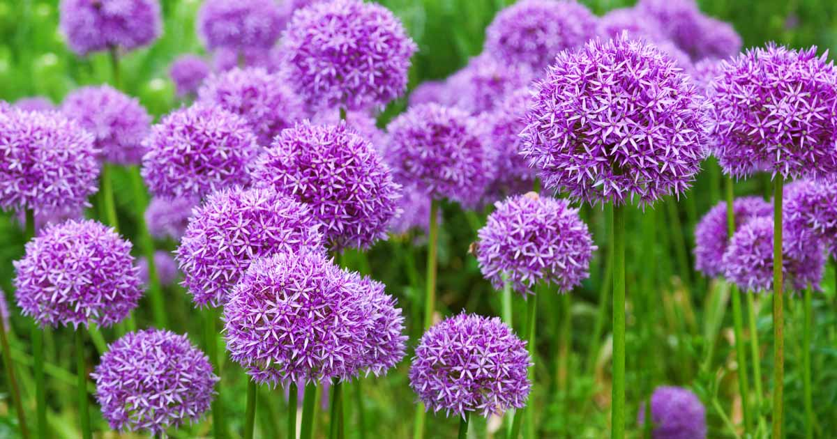 Purple ornamental allium flowers growing in a mass planting.