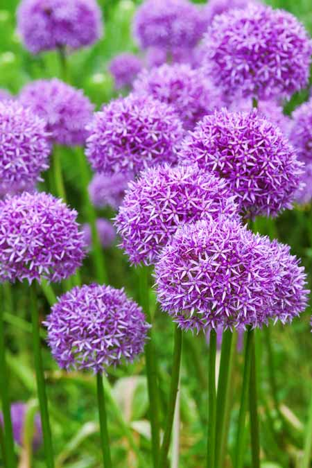 Ornamental purple allium flowers growing in a field.