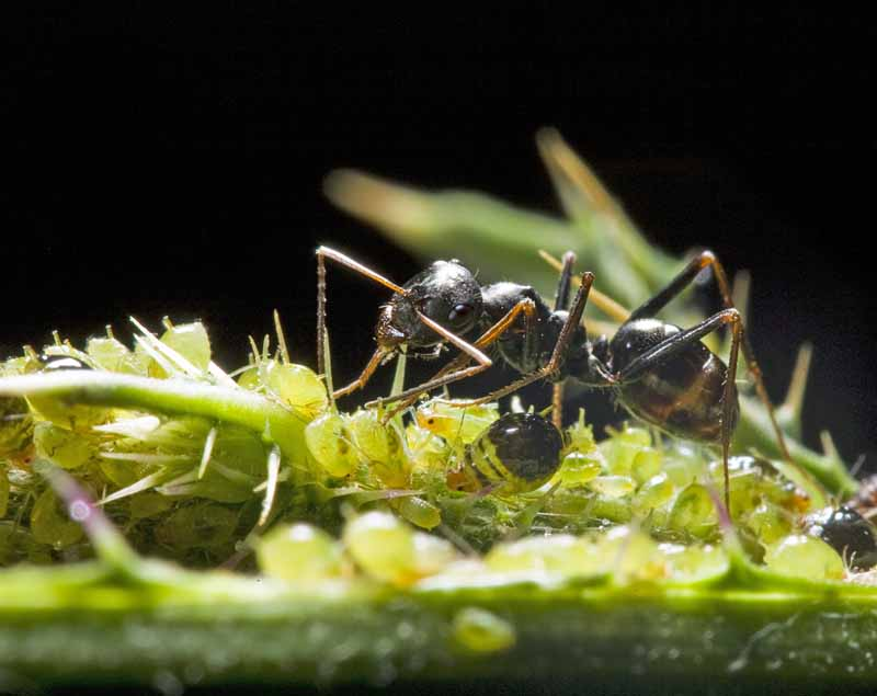 A big headed ant collects honeydew from aphids. Macro shot.