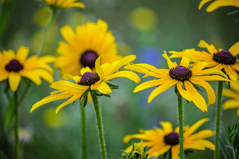 Black-eyed Susan flowers in bloom.