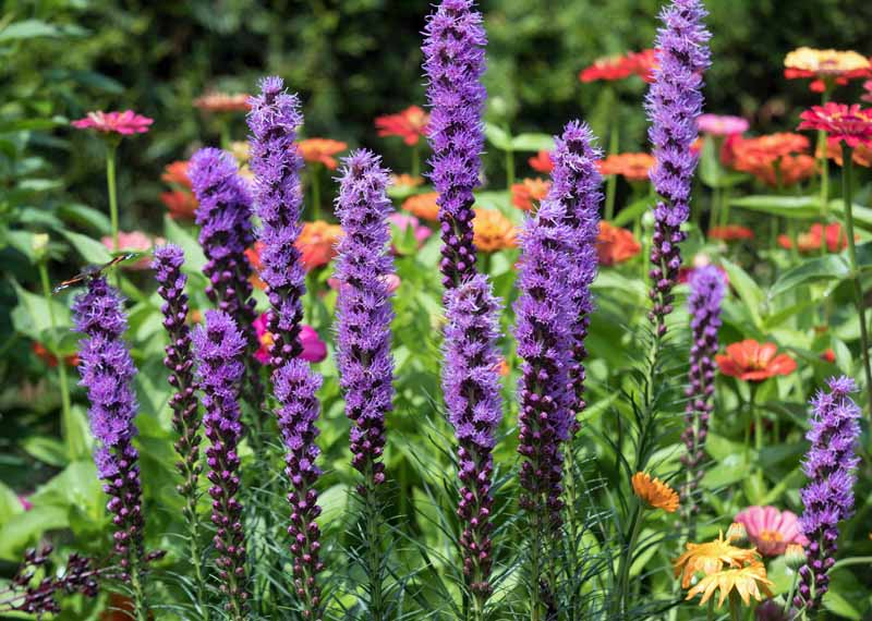 Liatris spicata flowers in a summer garden.