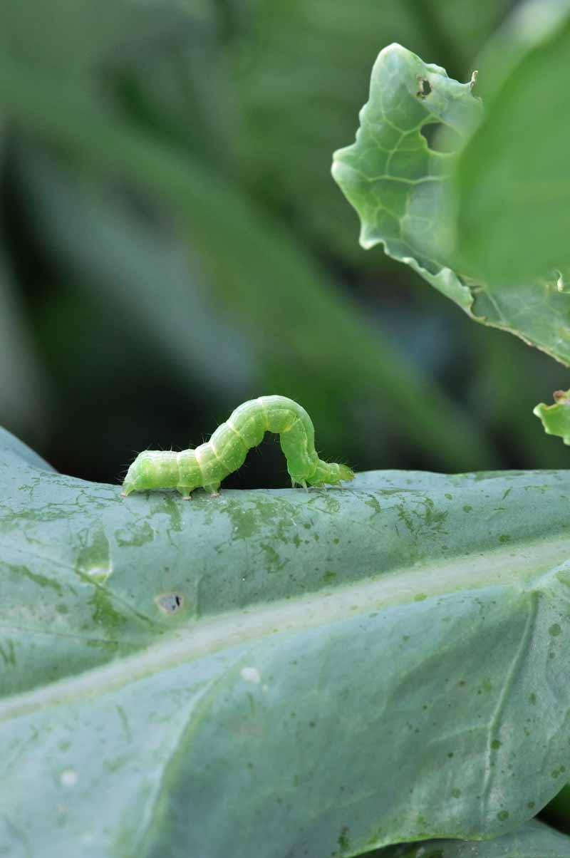 A Cabbage Looper caterpillar inches its way along a mature leaf.