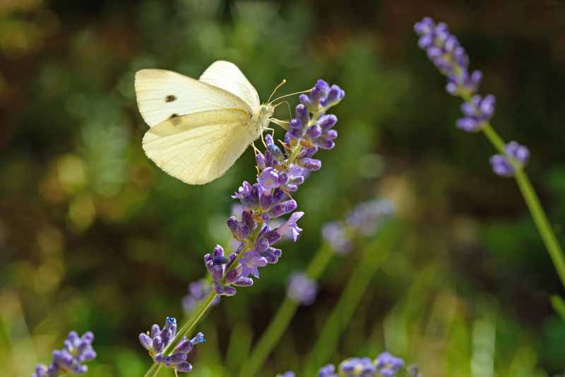 Cabbage White Butterfly sitting a lavender bloom.