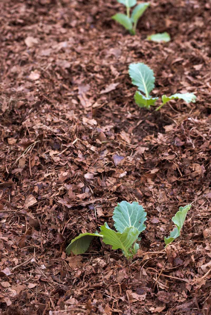 Cauliflower seedlings growing in compost and mulch.