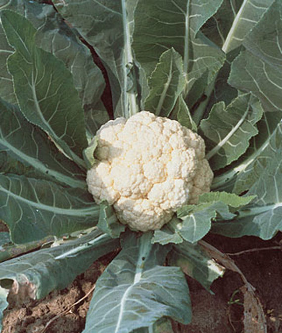 A head of Self-Blanching Snowball Cauliflower surrounded by large green leaves growing in a veggie patch.