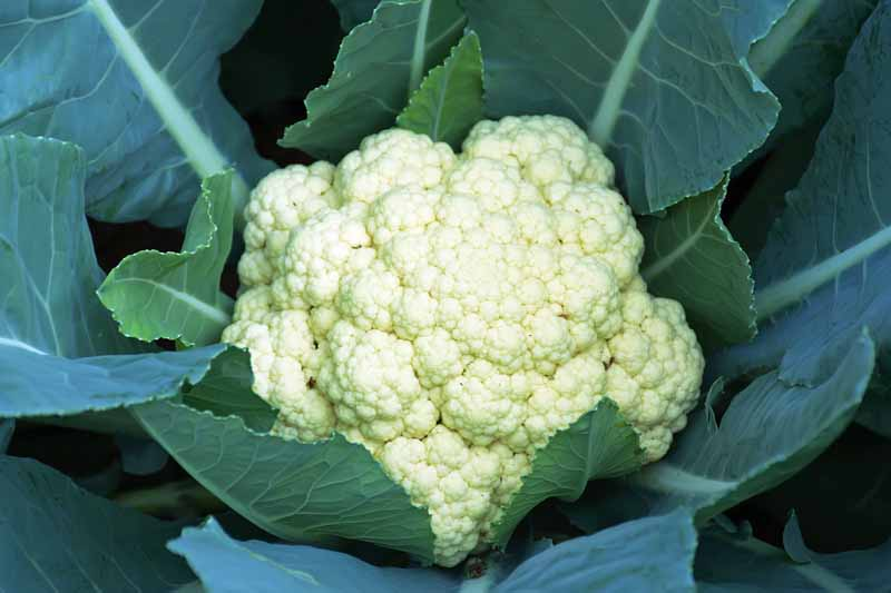 Close up of white head of cauliflower growing in the garden.