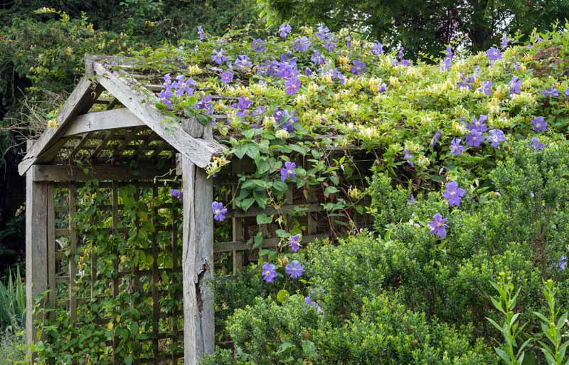 Blue Clematis 'Rasputin' in bloom climbing over a shed shaped arbor.