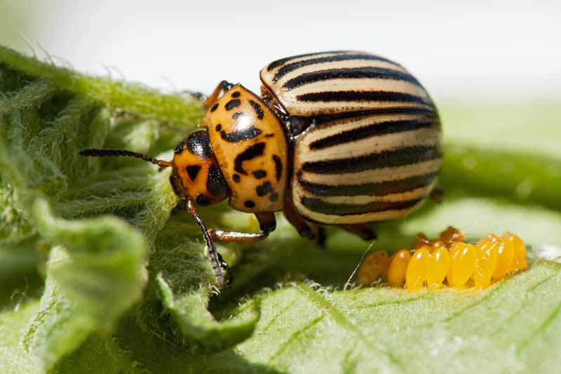 Close up of a Colorado potato beetle on a leaf.