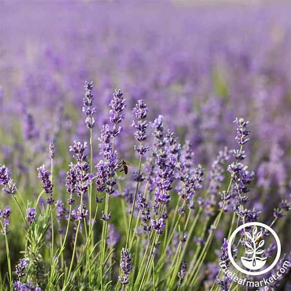 A field full of Common English Lavender in bloom.