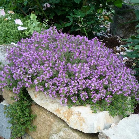 A cluster of pink flowering creeping thyme plants growing over a rock feature.