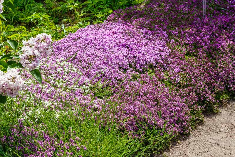 A pink carpet of creeping thyme borders a path.