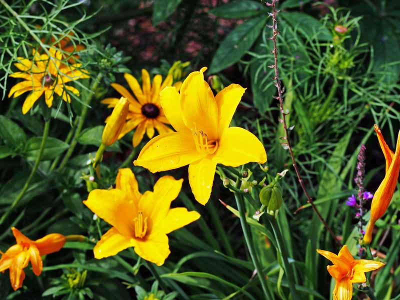 Two yellow daylily blooms in among other perennials and greenery.