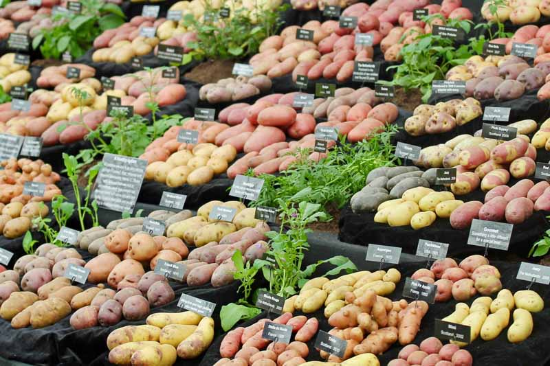 Various types of potatoes at a farmers' market.