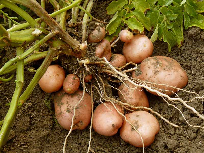 A dug up mature potato plant with tubers sitting in garden soil.
