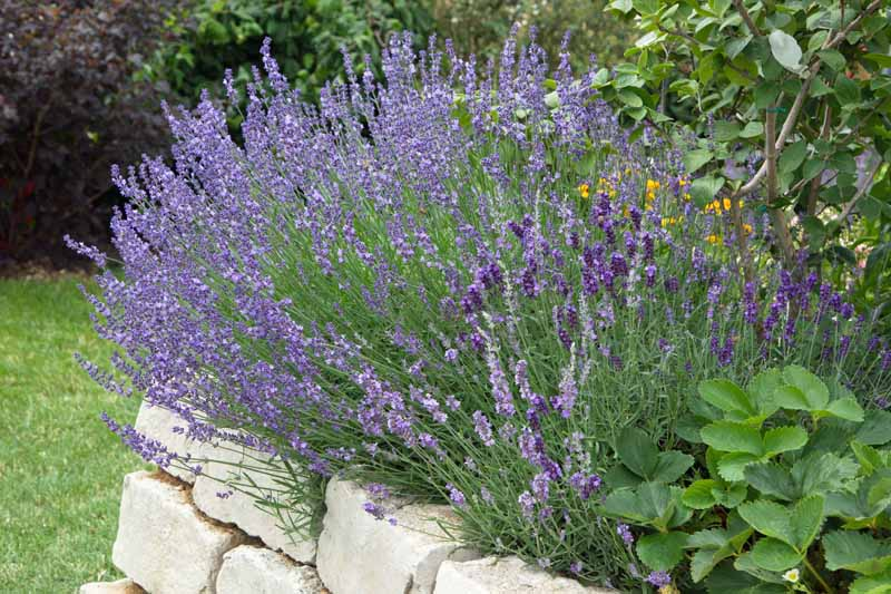 English Lavender (Lavandula angustifolia) growing in flower bed in a stone retaining wall flower bed.