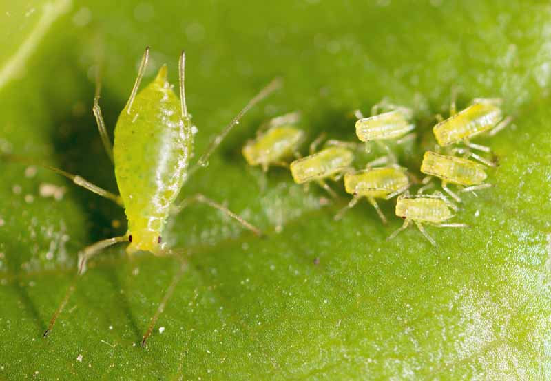 A female green aphid with young larvae on a green leaf.
