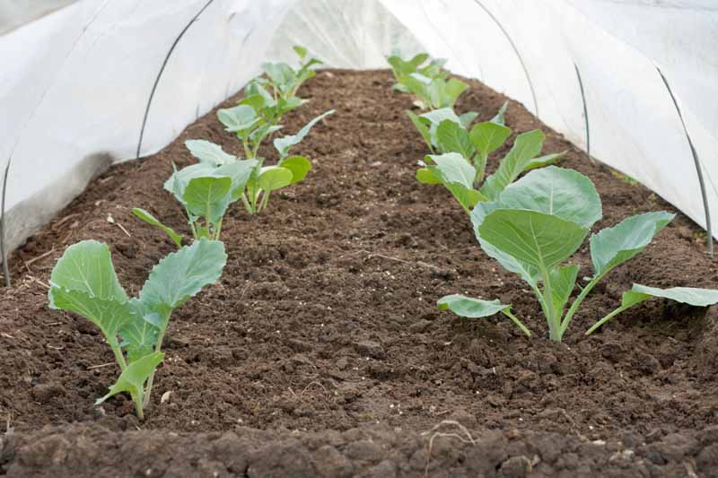 A floating row cover is used to protect cauliflower seedlings.