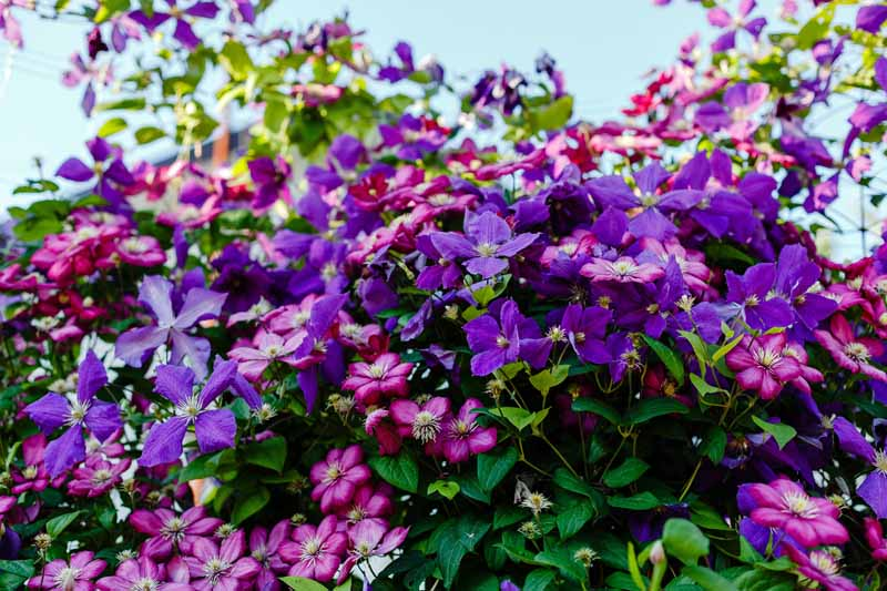 Pink and purple clematis vines in bloom.