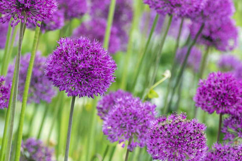 Close up of purple Giant Allium (Allium giganteum) in bloom.