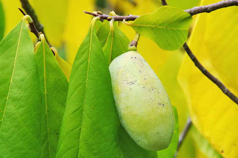 A close up horizontal image of a ripe pawpaw fruit hanging from a branch, with large green leaves to the right and left, pictured on a soft focus background.