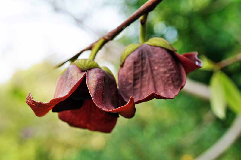 The flowers of a pawpaw tree hanging from a branch.