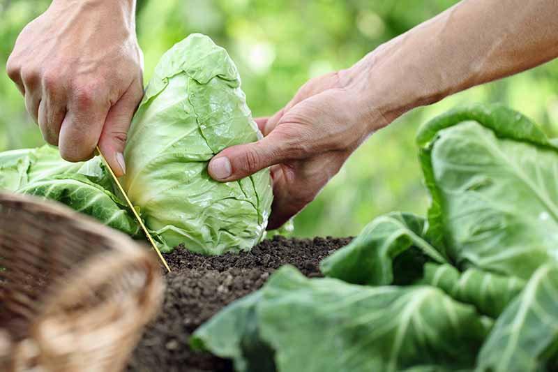 A pair of human hands cuts organically grown cabbages from the roots in a garden.