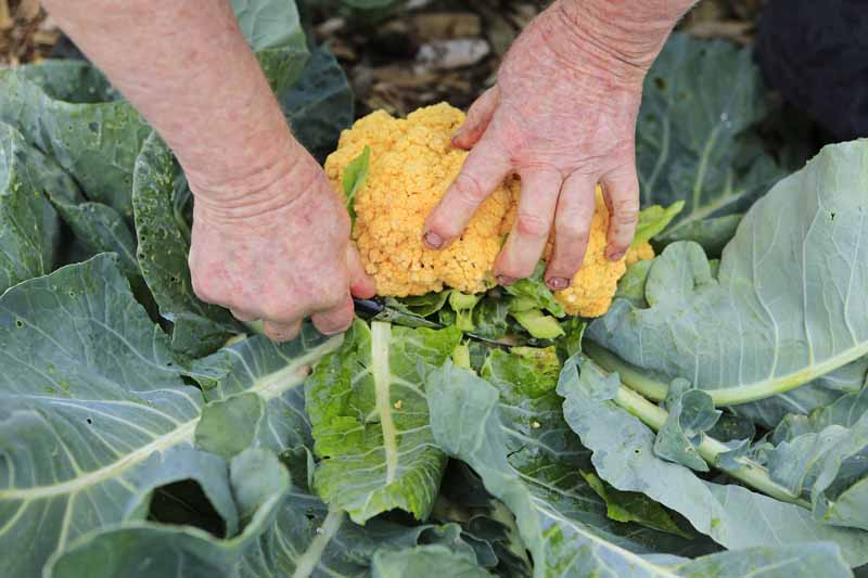 A pair of human hands uses a sharp knife to slice the head of an orange cauliflower away from its roots.