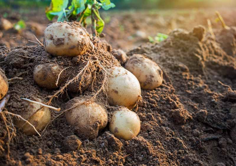 Potatoes being harvested from rich garden soil.