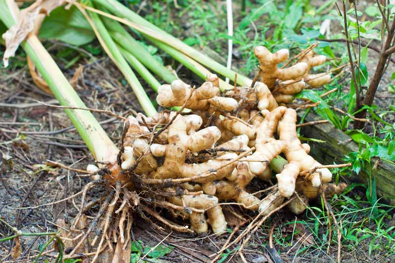Freshly harvested turmeric roots sitting on bare soil in a herb garden.