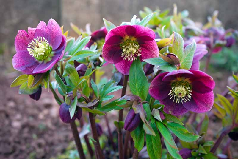 Purple Hellebore (Helleborus orientalis). Close up of three blooms.